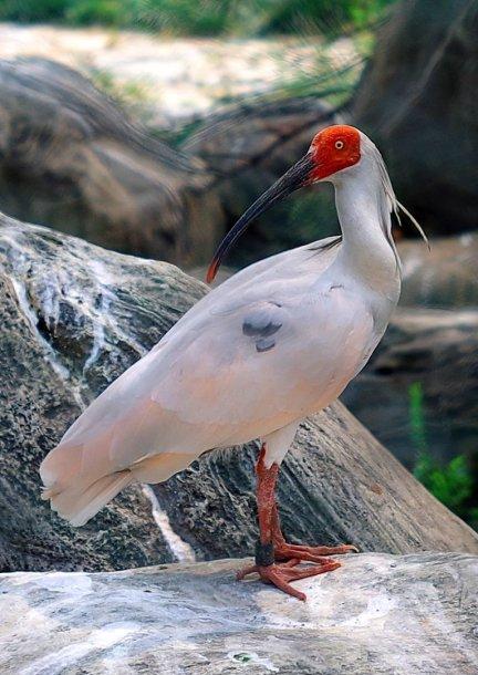 Japoninis kuoduotasis ibis (Nipponia nippon)