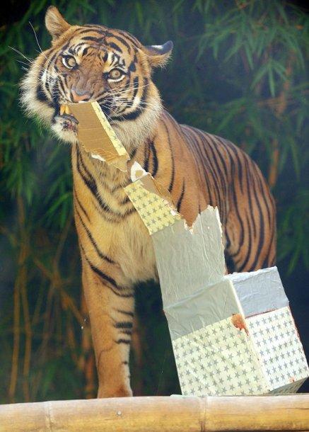 Sumatros tigras pakuoja Kalėdinę dovaną (Sidnėjus).