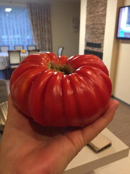Kaunietės Dainos užaugintas pomidoras