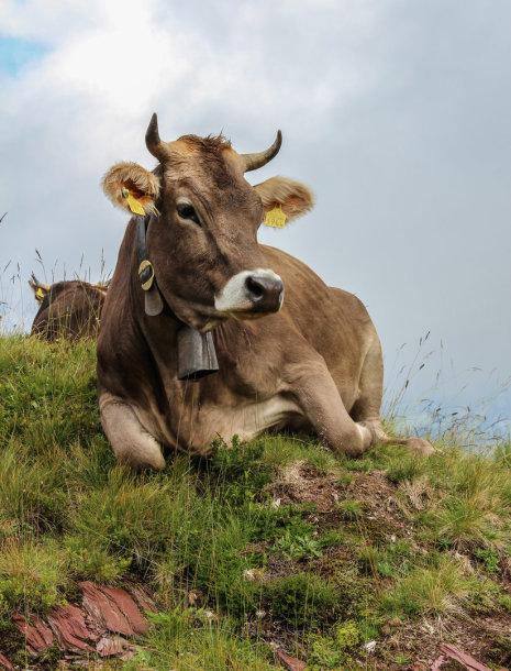 Karvė su varpeliu