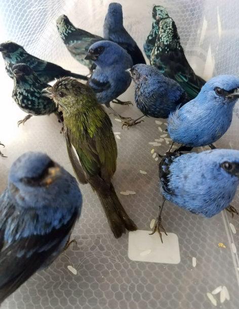 Peru policija areštavo belgą su 20 laukinių paukščių lagamine